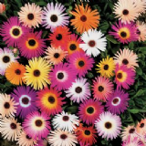 Livingstone Daisy 500 seeds - FREE POST
